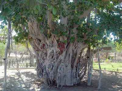 [تصویر: lour-tree-kish.jpg]